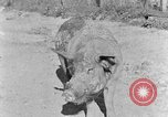 Image of domestic pig Tennessee United States USA, 1940, second 4 stock footage video 65675050019