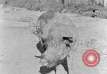 Image of domestic pig Tennessee United States USA, 1940, second 5 stock footage video 65675050019