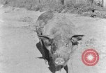 Image of domestic pig Tennessee United States USA, 1940, second 6 stock footage video 65675050019