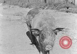 Image of domestic pig Tennessee United States USA, 1940, second 7 stock footage video 65675050019