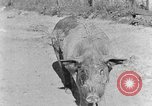 Image of domestic pig Tennessee United States USA, 1940, second 8 stock footage video 65675050019