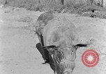 Image of domestic pig Tennessee United States USA, 1940, second 9 stock footage video 65675050019