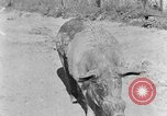 Image of domestic pig Tennessee United States USA, 1940, second 10 stock footage video 65675050019