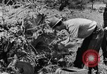 Image of pile of brush Tennessee United States USA, 1940, second 11 stock footage video 65675050022