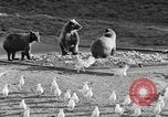 Image of Grizzly bears Wyoming United States USA, 1936, second 12 stock footage video 65675050299