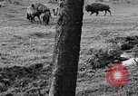 Image of Bisons Wyoming United States USA, 1936, second 9 stock footage video 65675050302