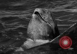Image of Risso's Dolphins Florida United States USA, 1966, second 9 stock footage video 65675050311