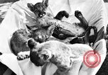 Image of lion cubs Petaluma California USA, 1929, second 2 stock footage video 65675050356