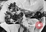 Image of lion cubs Petaluma California USA, 1929, second 4 stock footage video 65675050356