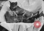 Image of lion cubs Petaluma California USA, 1929, second 6 stock footage video 65675050356