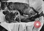 Image of lion cubs Petaluma California USA, 1929, second 7 stock footage video 65675050356