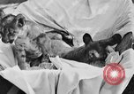 Image of lion cubs Petaluma California USA, 1929, second 9 stock footage video 65675050356