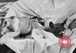 Image of lion cubs Petaluma California USA, 1929, second 10 stock footage video 65675050356