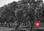 Image of Cork Oak trees Granada Spain, 1926, second 9 stock footage video 65675050509