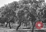 Image of Cork Oak trees Granada Spain, 1926, second 12 stock footage video 65675050509