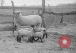 Image of quintuplet lambs Wilmington Ohio USA, 1936, second 2 stock footage video 65675053233