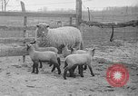 Image of quintuplet lambs Wilmington Ohio USA, 1936, second 3 stock footage video 65675053233