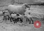 Image of quintuplet lambs Wilmington Ohio USA, 1936, second 5 stock footage video 65675053233