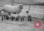 Image of quintuplet lambs Wilmington Ohio USA, 1936, second 8 stock footage video 65675053233