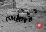 Image of quintuplet lambs Wilmington Ohio USA, 1936, second 10 stock footage video 65675053233