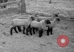 Image of quintuplet lambs Wilmington Ohio USA, 1936, second 11 stock footage video 65675053233