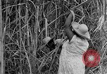 Image of sugar cane cutter New Roads Louisiana USA, 1938, second 9 stock footage video 65675054206