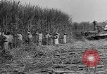 Image of sugar cane cutter New Roads Louisiana USA, 1938, second 12 stock footage video 65675054206