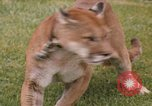Image of cougar Panama, 1969, second 1 stock footage video 65675054593