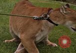 Image of cougar Panama, 1969, second 2 stock footage video 65675054593
