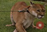 Image of cougar Panama, 1969, second 3 stock footage video 65675054593