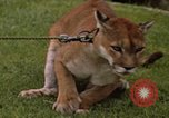 Image of cougar Panama, 1969, second 4 stock footage video 65675054593