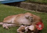 Image of cougar Panama, 1969, second 6 stock footage video 65675054593
