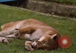 Image of cougar Panama, 1969, second 7 stock footage video 65675054593