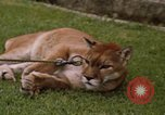 Image of cougar Panama, 1969, second 8 stock footage video 65675054593