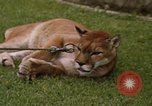 Image of cougar Panama, 1969, second 10 stock footage video 65675054593