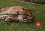 Image of cougar Panama, 1969, second 11 stock footage video 65675054593