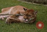 Image of cougar Panama, 1969, second 12 stock footage video 65675054593