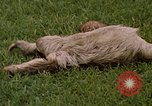 Image of sloth Panama, 1969, second 5 stock footage video 65675054595
