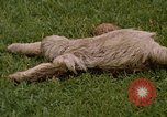 Image of sloth Panama, 1969, second 6 stock footage video 65675054595