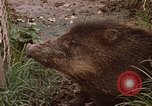Image of peccary Panama, 1969, second 1 stock footage video 65675054597