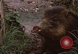 Image of peccary Panama, 1969, second 2 stock footage video 65675054597