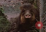 Image of peccary Panama, 1969, second 3 stock footage video 65675054597