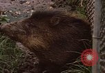 Image of peccary Panama, 1969, second 5 stock footage video 65675054597
