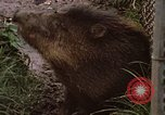 Image of peccary Panama, 1969, second 6 stock footage video 65675054597