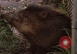 Image of peccary Panama, 1969, second 7 stock footage video 65675054597