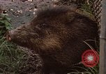 Image of peccary Panama, 1969, second 8 stock footage video 65675054597