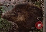 Image of peccary Panama, 1969, second 9 stock footage video 65675054597