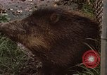 Image of peccary Panama, 1969, second 10 stock footage video 65675054597