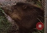 Image of peccary Panama, 1969, second 11 stock footage video 65675054597