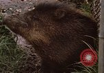 Image of peccary Panama, 1969, second 12 stock footage video 65675054597